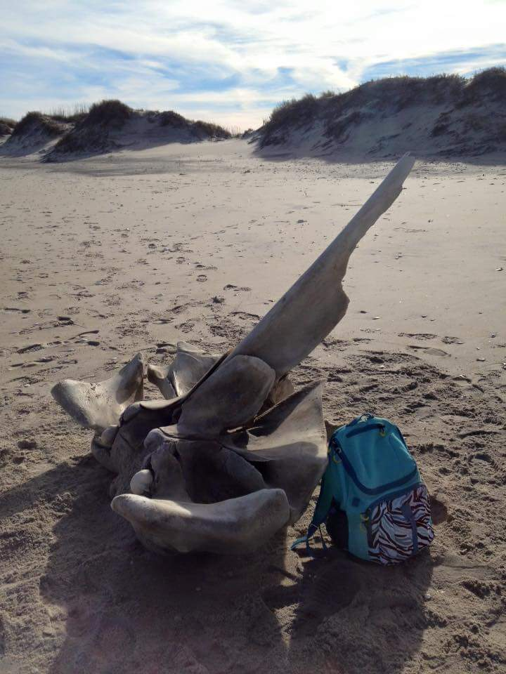 Whalevertenrae,north carolina,hatteras beach, delaware, sussex county,beach combing find,