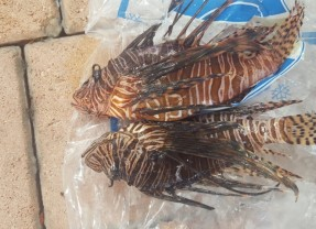 Lionfish The Other White Meat