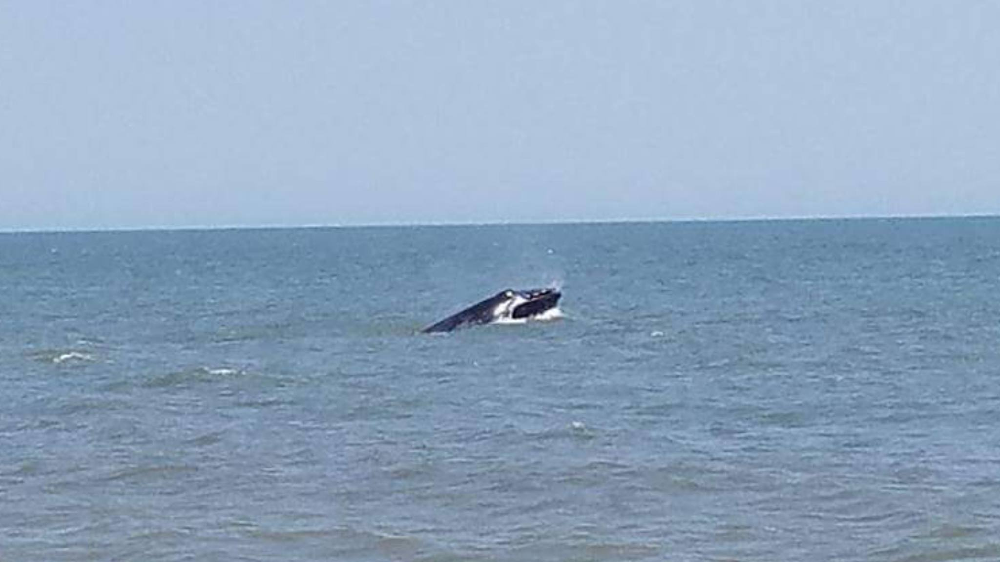 Whale breached off herring point today delaware surf for Delaware surf fishing