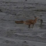 Foxes In The Dunes Grabbing Fish