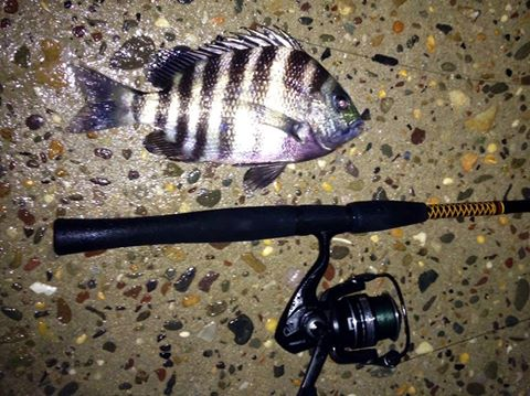 sheepshead, delaware, sussex county, indian river inlet, sand fleas, jetty fishing, jetty jockey, rock rat,