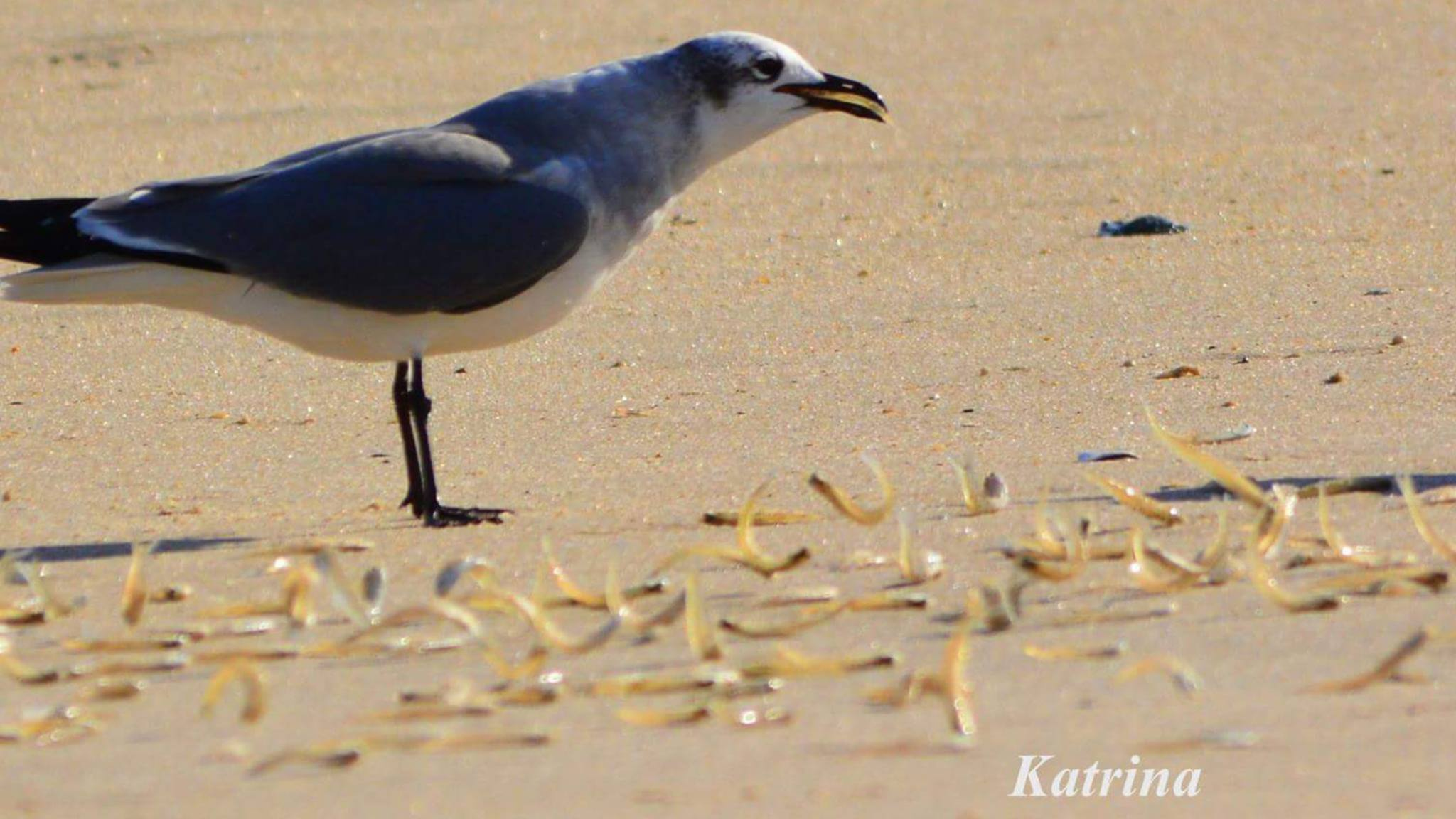 baitfish washing up on beach, delaware, sussex county, surf fihsing, bluefish,fall run, gull eating baitfish