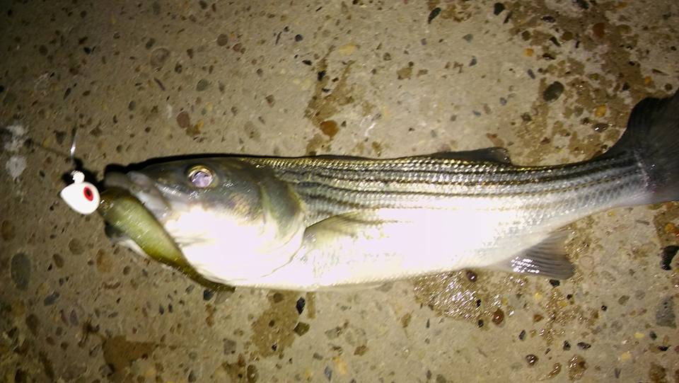 how to catch striped bass in delaware river