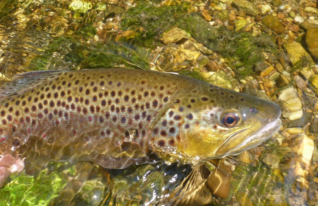 brown trout, maryland, DNR, fly fishing, gun powder,