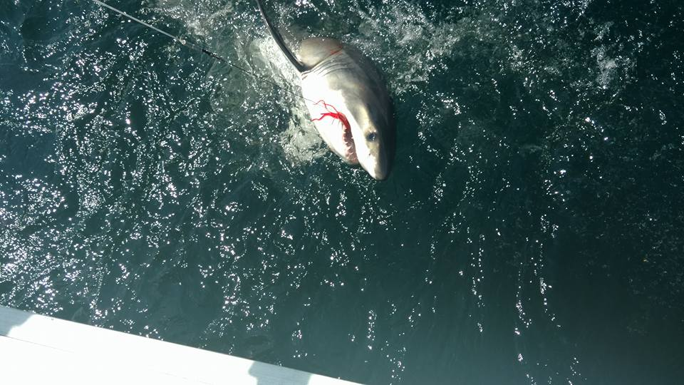 Great white caught by the overboard near ocean city for Fishing access near me