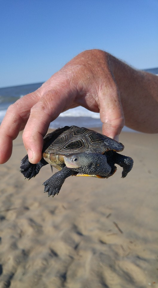 diamond back terrapin,look out for turtles, delaware, sussex county, turtle guards, excluders,