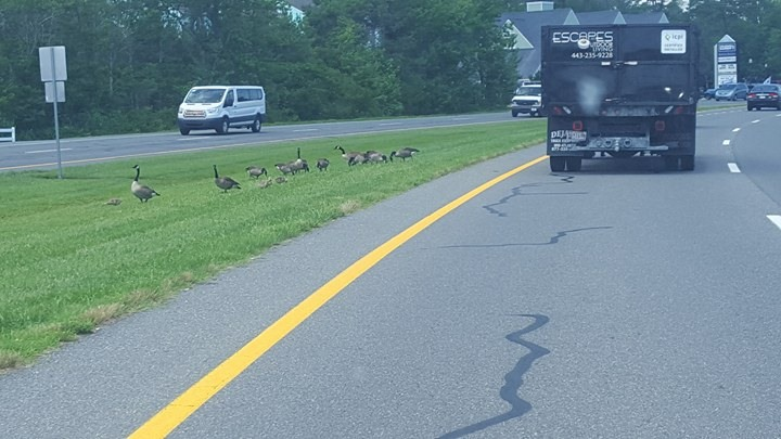 route 1, bethany beach, geese, goslings, sea colony, delaware, sussex county