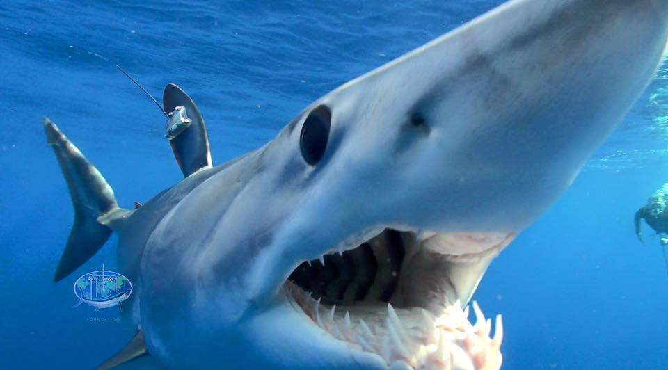 mako, tagged shark, guy harvey foundation,