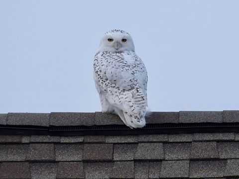snowy owl, delaware, sussex county, bowers beach, delaware bay, project snowstorm, assateague, chincoteague, irruption