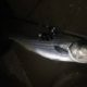 striped bass, migratory bass, spring run, delaware, maryland, sussex county, kent county, chesapeake striped bass, tidal river fishing,