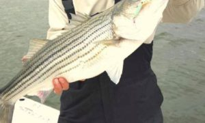 striped bass, rockfish, Susquehanna Flats catch and release fishery, chesapeake bay, marylannd, trophy bass